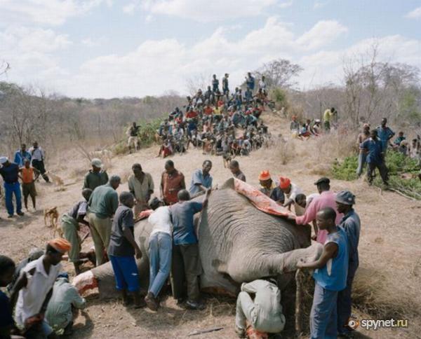 Судьба умершего слона в Зимбабве